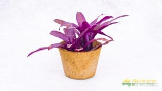 Coir Pot Small Display With Plant Medium Size